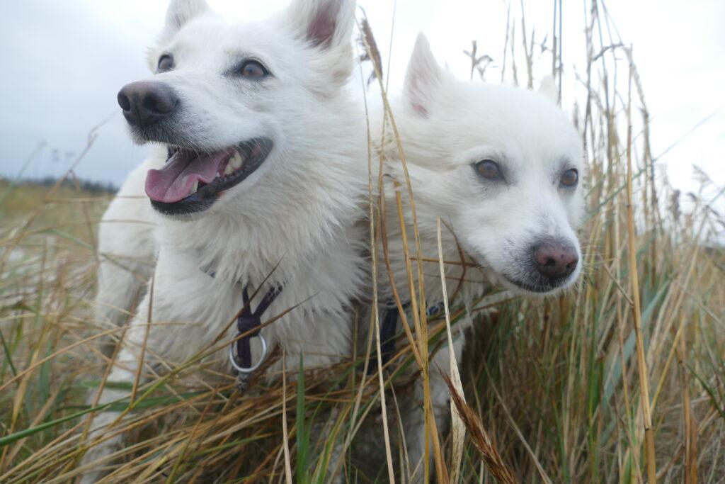 Danish Spitz. 2 Danish Spitz dogs in a field.